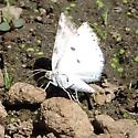 Brushed Moth 2 - Lomographa semiclarata