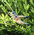 Colorful Grasshopper - Brachystola magna - male