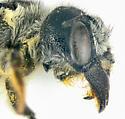 Megachilidae, head - Megachile pugnata - female