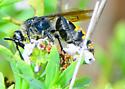 Reality Check: Campsomeris pilipes? - Dielis tolteca - female
