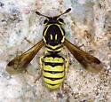 Pollen Wasp from Pinnacles - Pseudomasaris edwardsii - female