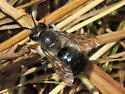 unknown bee - Megachile melanophaea