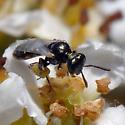 ID for tiny bee on Toyon? - Perdita - female