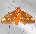 Citheronia - Citheronia regalis