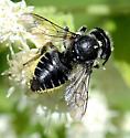 Megachile - unident - Megachile mendica