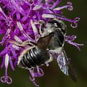 Robust Female Leafcutter Bee - Megachile mendica