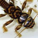 Acroneuria cf. carolinensis - Acroneuria