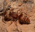 Mutillid - Pseudomethoca - female