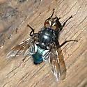 Shiny blue fly - Cynomya cadaverina