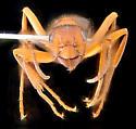 Formica sp. worker, anterior - Formica aserva - female