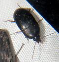 Beetle - Oodes
