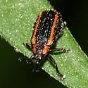 Leaf Beetle with racing stripes - Microrhopala xerene