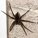 Dolomedes triton - Sixspotted Fishing Spider? - Dolomedes triton