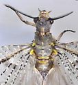 Chauliodes pectinicornis ? Summer FIshfly - Chauliodes pectinicornis