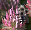 Cuckoo bee? - Melecta separata