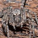 Unknown Spider - Apollophanes margareta