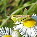 spur-throated grasshopper - Melanoplus