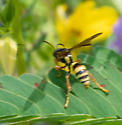 solitary wasp? - female