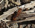 Small Wasp - Ageniella accepta