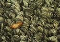 Varied carpet beetle larva - Anthrenus verbasci