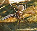 Fishing Spider - Dolomedes triton