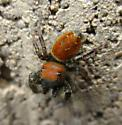 Another Red Phidippus - Phidippus whitmani - male