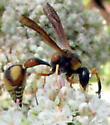 Potter wasp? - Eumenes bollii