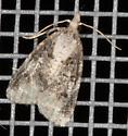 Moth - brown and beige on screen - Platynota exasperatana