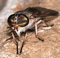 Horse fly - Tabanus sackeni - female