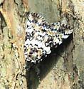 Moth - Catocala connubialis
