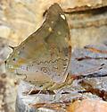 Tailed Cecropian - Historis acheronta