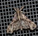 Moth - Erebidae? - Palthis asopialis