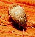 Beetle - Bruchidius terrenus