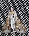 Melipotis acontioides