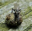 What fly, please. - Anthomyia oculifera - female