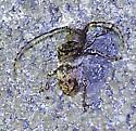 Ecyrus arcuatus