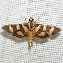 Red-waisted Florella Moth - Hodges #5284 - Syngamia florella