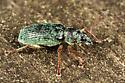 Weevil - Polydrusus formosus