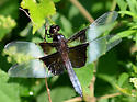 Widow Skimmer - Libellula luctuosa - male