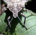 posible? Brochymena quadripustulata  - Brochymena