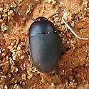 Tiny Black Beetle - Gondwanocrypticus obsoletus