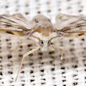 Derbid Planthopper - Paramysidia mississippiensis