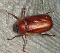 Scarab - Phyllophaga longispina - male