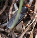 Austrailian Sod Fly - Inopus rubriceps - female