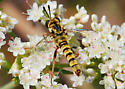 Mydas Fly on Buckwheat - Pseudonomoneura hirta - male