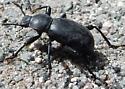 Ground or Darkling Beetle? - Coelocnemis