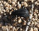 Unusual Eleodes sp. - Philolithus actuosus