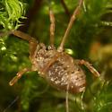 Harvestman - Oligolophus tridens