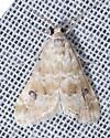Unknown Moth - Hellula rogatalis