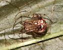 Mimetidae (Pirate spider), dorsal - Mimetus puritanus